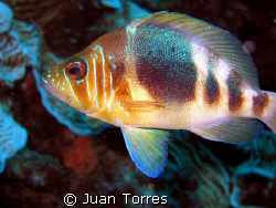 Elusive Barred Hamlet. by Juan Torres 